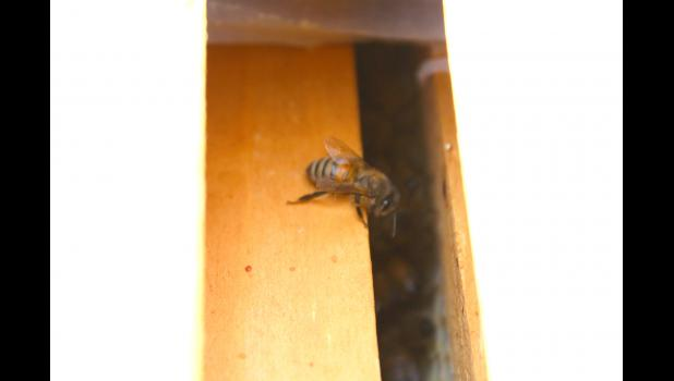 A honeybee in Tim Olsen's beehive slowly moves back into the hive. Honeybees do not excrete inside the hives in order to keep their nest and the honey sanitary.