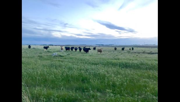 Cow-calf pairs graze 120 acres of Touch the Sky Prairie on the north end of the property Monday evening.