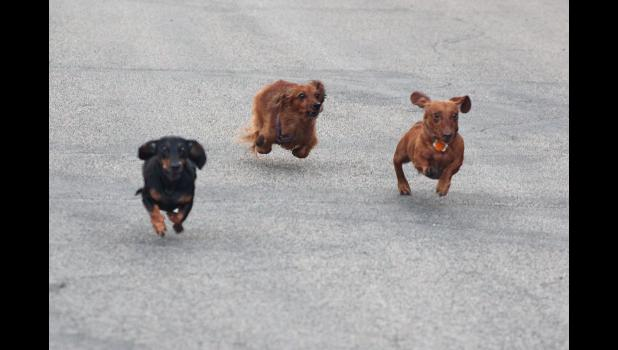 Calloway, Jazzy and Charlie race in a close finish during the final heat of the Wiener Dog Races,