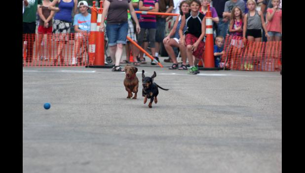 Balls, treats and squeaky toys are used to encourage wiener dogs to race to the finish.