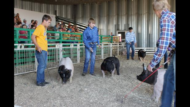 Keeping their hogs moving during Thursday morning's swine show are handler Riley Baker and exhibitors Tanner Baustian and Tyler Fick and Aleck Schoeneman.