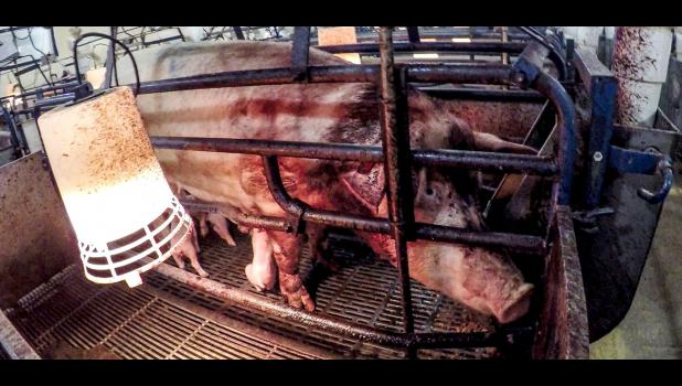 This image, allegedly from Christensen Farms, was posted on the Last Chance for Animals website.